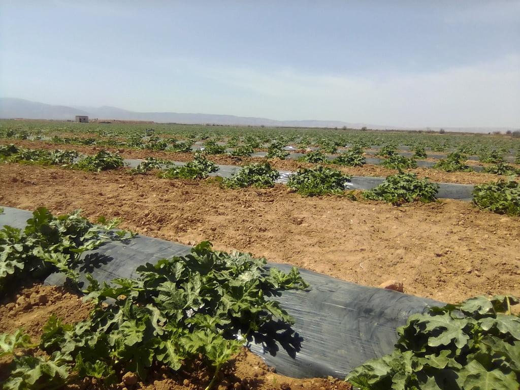 Recolte de pastèque maroc 2020