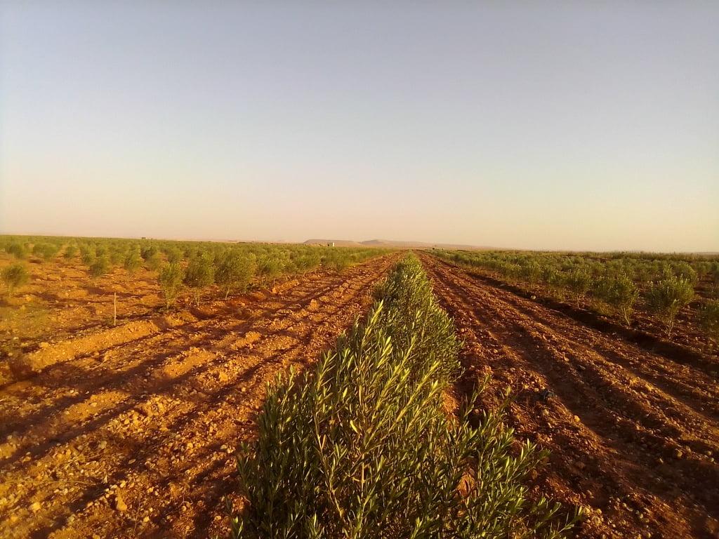 ferme d'olivier 11 ha à 10 km de chichaoua