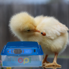 couveuse tourne automatique des œufs